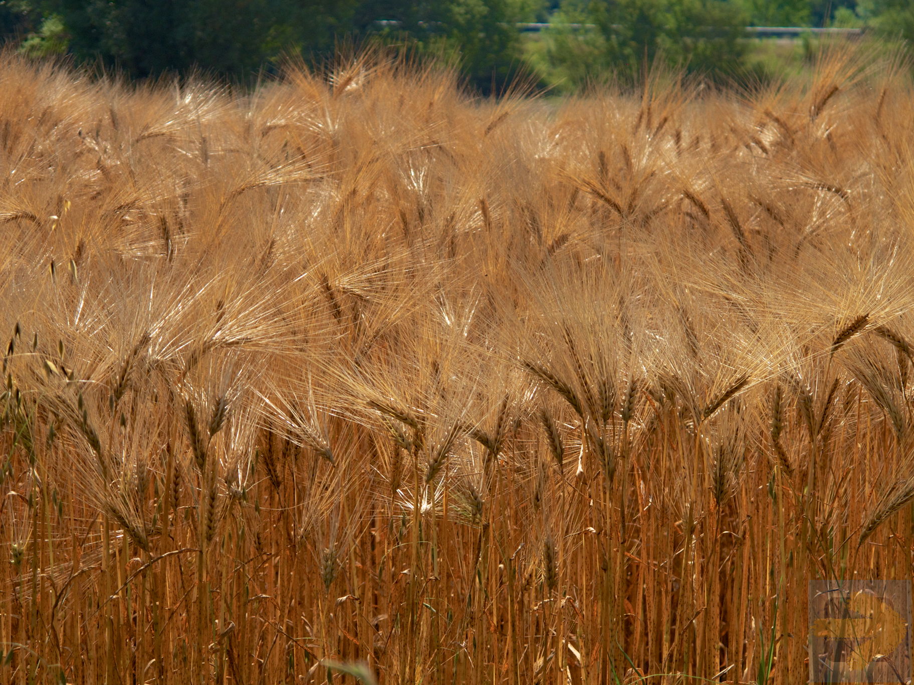 Fields of grain