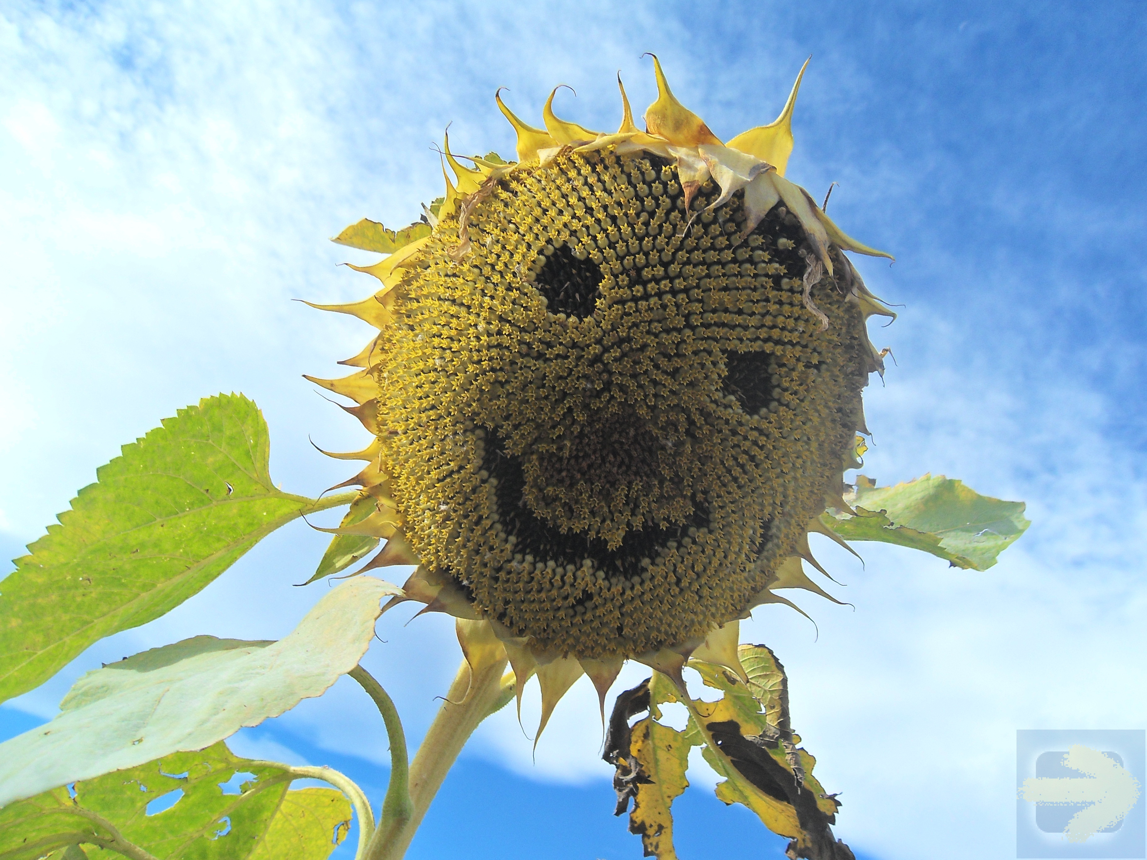 One of the happiest sunflowers on the Camino!